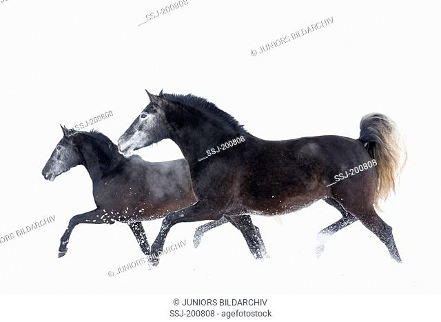 Pure Spanish Horse, Andalusian. Two mares trotting on a snowy pasture. Germany