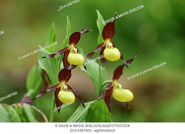 Close-up of lady's-slipper orchid (Cypripedium calceolus) blossom in a forest in early summer