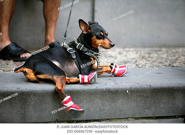 Closeup of a man's legs wearing sandals with her Chihuahua doggy sitting near by