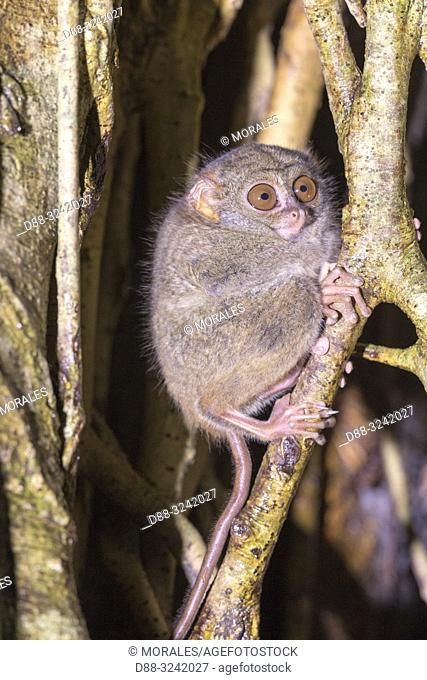 Asia, Indonesia, Celebes, Sulawesi, Tangkoko National Park, . Spectral tarsier (Tarsius spectrum, also called Tarsius tarsier)