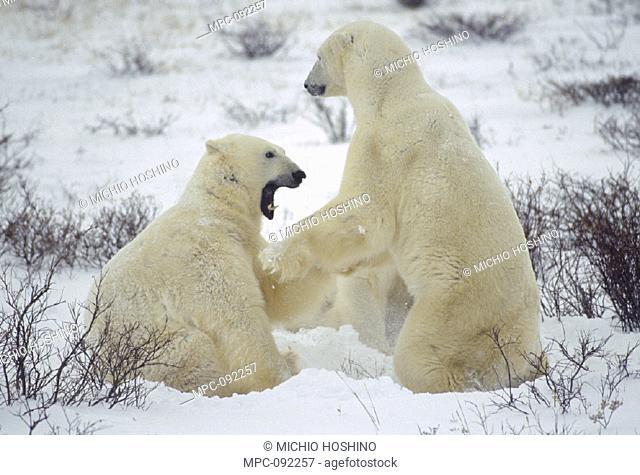 POLAR BEAR, (Ursus maritimus) TWO MALES FIGHTING, CHURCHILL, MANITOBA, CANADA