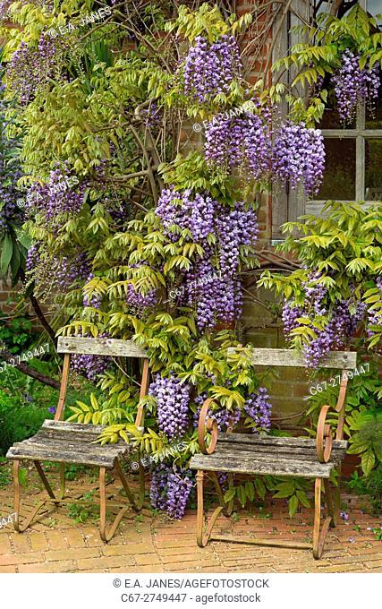Wisteria floribunda growing around garden summer house. Norfolk England UK