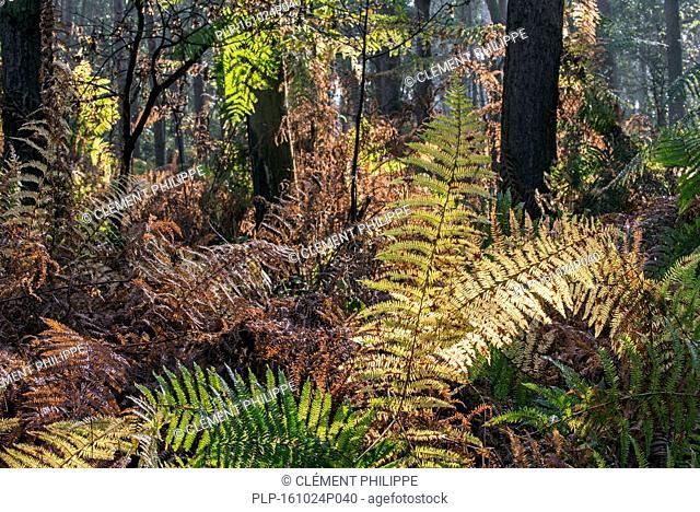 Bracken / eagle fern fronds (Pteridium aquilinum) in autumn colours in forest