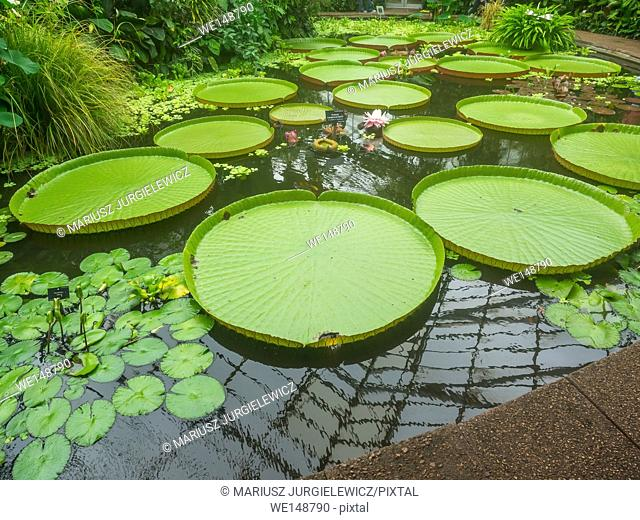 Victoria amazonica is a species of flowering plant, the largest of the Nymphaeaceae family of water lilies