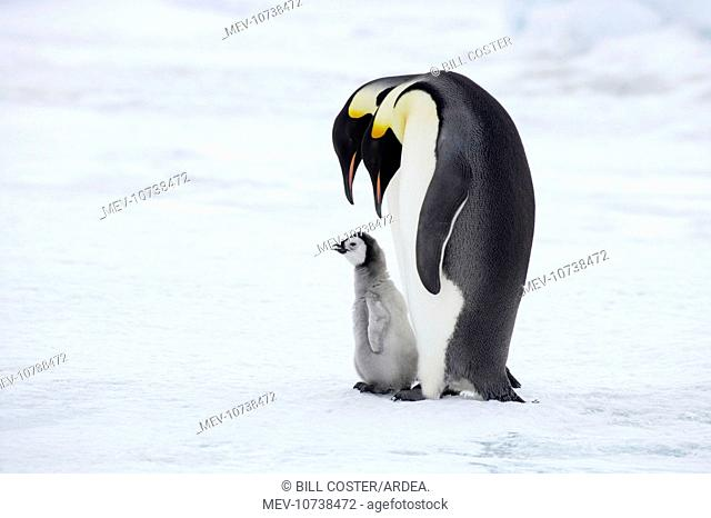 Emperor Penguin - Pair with Chick (Aptenodytes forsteri)