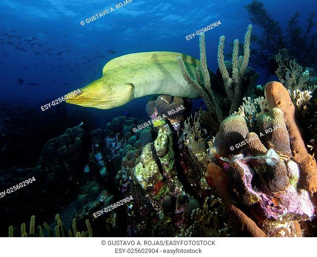 Green Moray Eel, Gymnothorax funebris - Sur america, Venezuela los roques