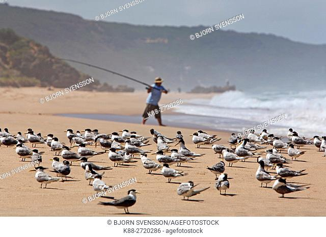 Crested Terns at Joanna Beach. Victoria, Australia