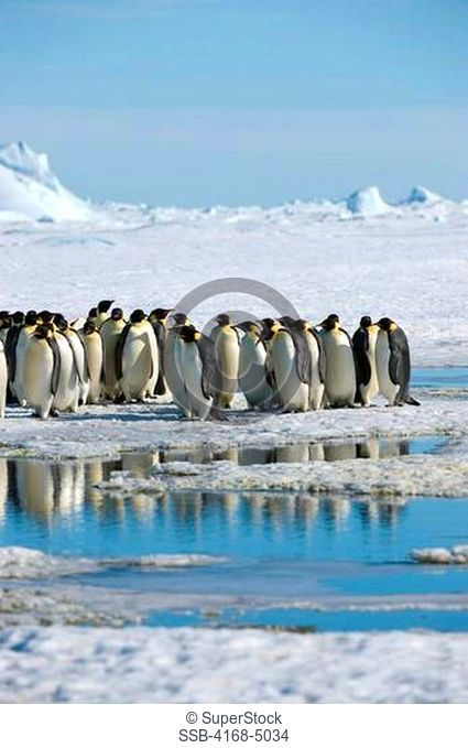 antarctica, weddell sea, snow hill island, group of emperor penguins aptenodytes forsteri on fast ice on the way to colony