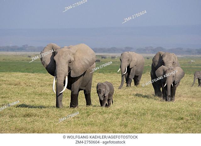 African elephants (Loxodonta africana) in Amboseli National Park in Kenya