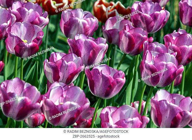 The beauty of blooming tulips, Tulipa Triumph 'Shirley Dream'