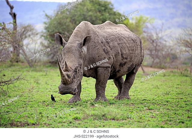 White Rhinoceros, Square-Lipped Rhinoceros, (Ceratotherium simum), adult foraging, with Red shouldered glossy starling, (Lamprotornis nitens)