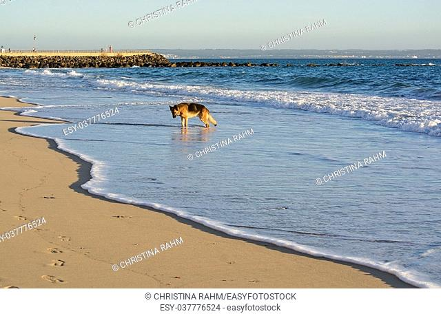 Happy German Shepherd dog plays on the beach on a sunny winter afternoon in January in Mallorca, Spain