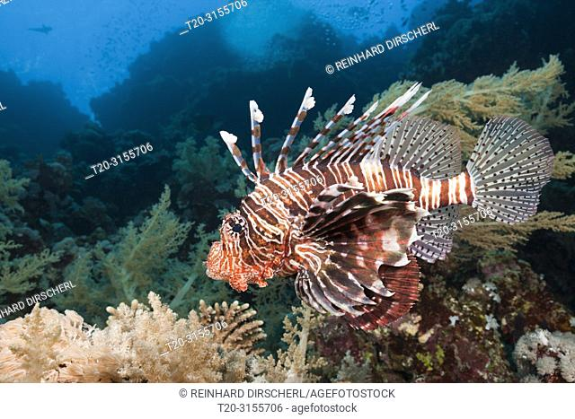 Indian Lionfish, Pterois miles, Brother Islands, Red Sea, Egypt