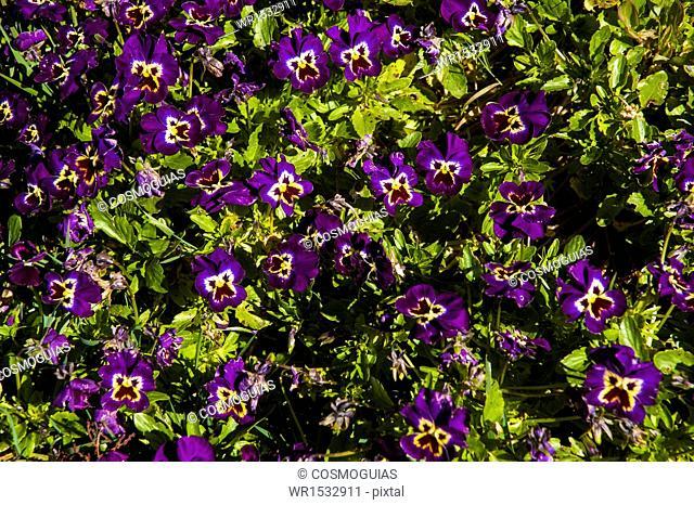 Viola × wittrockiana