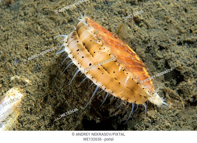 Yesso scallop, Giant Ezo scallop, or Ezo giant scallop (Mizuhopecten yessoensis) Sea of Japan, Rudnaya Pristan, Far East, Primorsky Krai, Russia