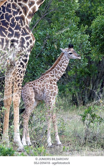 Giraffe (Giraffa camelopardalis). Young standing next to its mother. Masai Mara, Kenya
