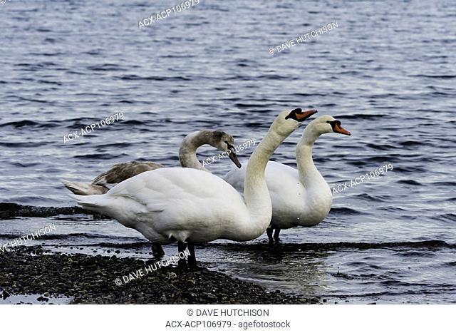 Mute swans (Cygnus olor), Roberts Bay Bird Sanctuary, Sidney, BC, Canada