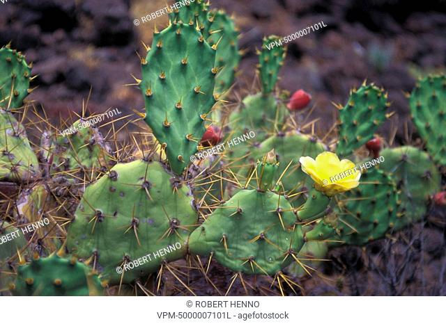 OPUNTIA FICUS-INDICA - OPUNTIA FICUS INDICAINDIAN FIG - PRICKLY PEAR FLOWERINGTENERIFE - CANARY ISLANDS - SPAIN