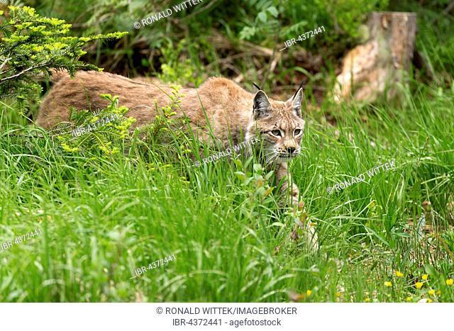 European lynx (Lynx lynx) stalking in the high grass, Bavaria, Germany