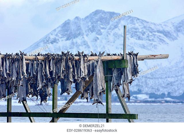 Stockfish (cod) in winter time in Gimsoy, Lofoten Islands, Norway