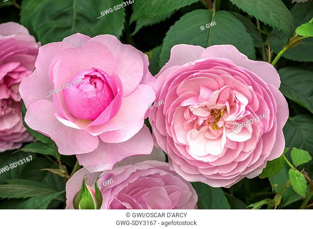 ROSA 'OLIVIA ROSE AUSTIN' ENGLISH LEANDER HYBRID