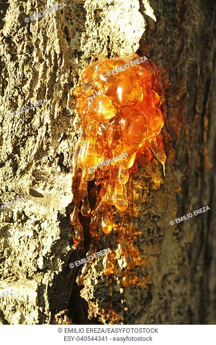 Gummosis. Resin on a cherry tree trunk