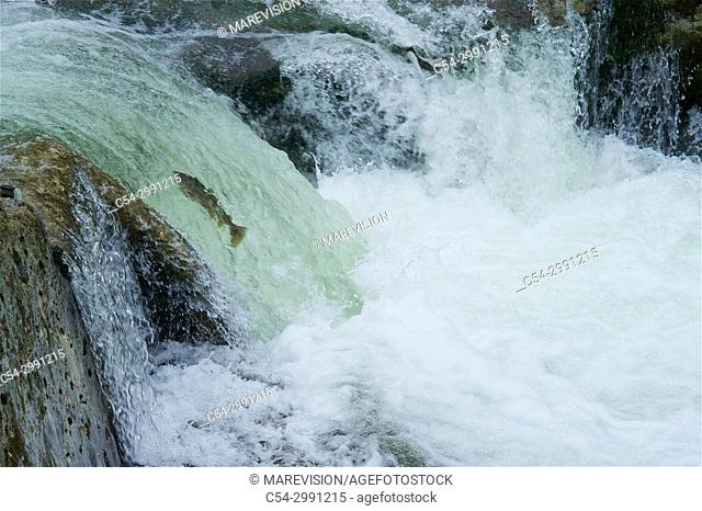 Freshwater Rivers. Atlantic Salmon (Salmo salar) adult leaps up falls along the Sella river while migrating upstream from salt water of Atlantic Ocean to...