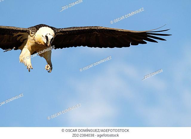Bearded Vulture or Lammergeier (Gypaetus barbatus) flying. Pre-Pyrenees. Lleida province. Catalonia. Spain