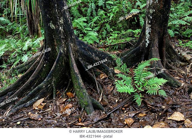 Tree trunks and tropical vegetation, near Anse des Cascades in Piton Sainte-Rose, Reunion, Africa