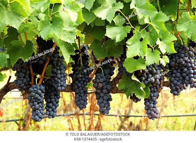 Ecological bio vineyards of the winery Jaume Mesquida Porreres Es Pla Mallorca Illes Balears Spain