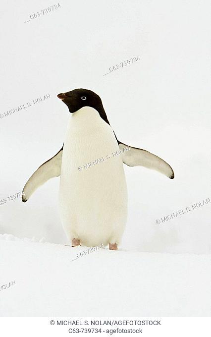 A lone adult Adelie penguin Pygoscelis adeliae on an iceberg off Port Lockroy, Antarctica