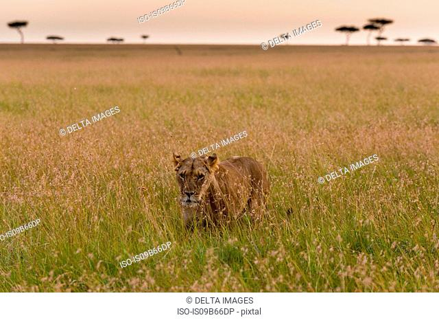 A lioness (Panthera leo), walking in the savannah, Masai Mara, Kenya, Africa
