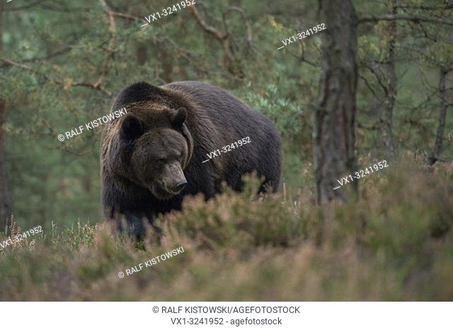 Brown Bear ( Ursus arctos ) walking, strolling, roaming through the undergrowth of a forest, impressive encounter, Europe