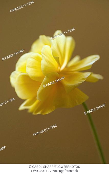 Ranuncuus, Persian ranunculus, a double petalled yellow Ranunculus asiaticus cultivar, Close side view with selective focus against a brown background