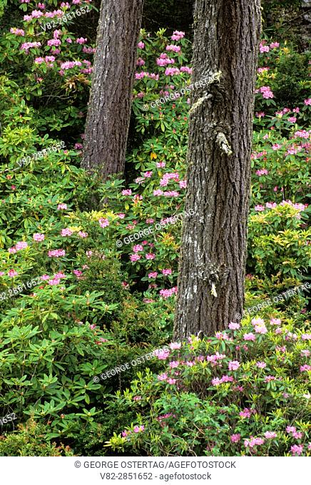 Coastal forest with Pacific rhododendron (Rhododendron macrophyllum), Oregon Dunes National Recreation Area, Oregon