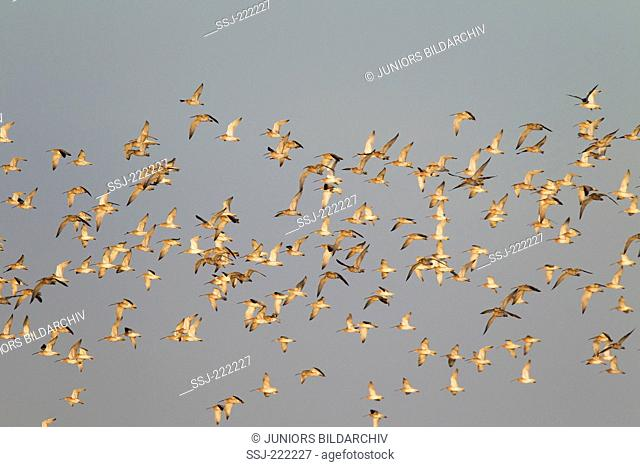 Eurasian Curlew (Numenius arquata), flock during the yearly bird migration, Nationalpark Waddensea, Germany