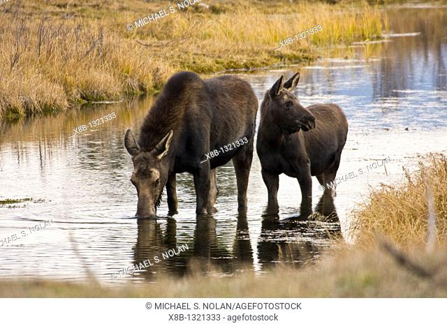 Cow and calf moose Alces alces shirasi feeding near the Gros Ventre river just outside of Grand Teton National Park, Wyoming