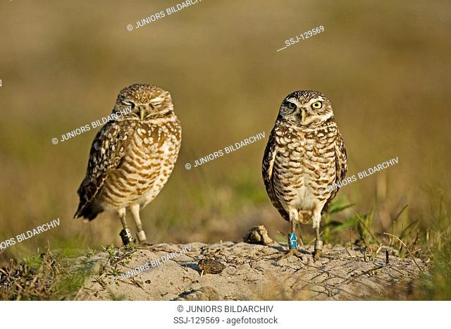 two burrowing owls - Athene cunicularia