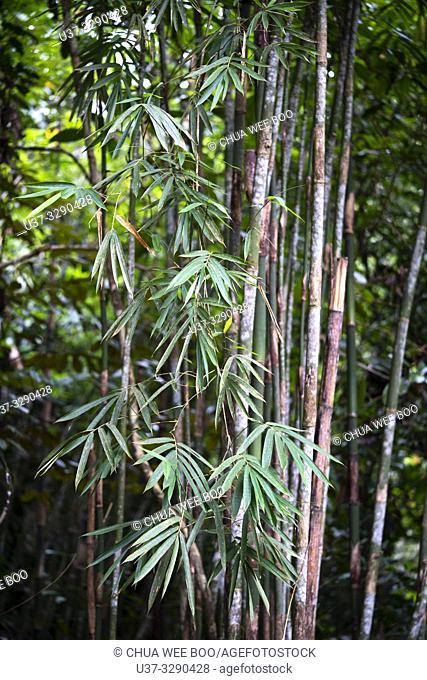 Bamboos at Kampung Satow, Sarawak, Malaysia