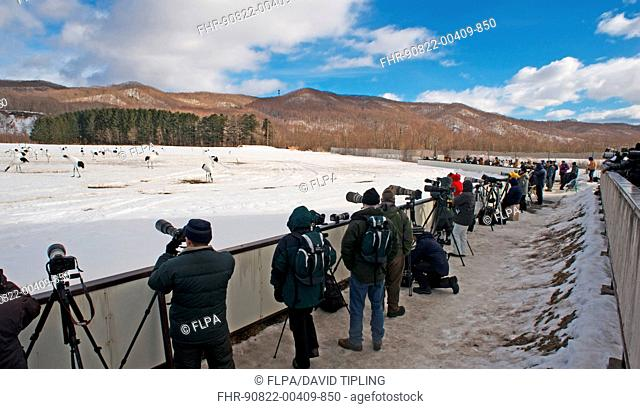 Wildlife photographers taking photos of Japanese Red-crowned Crane Grus japonensis flock in snow, Akan, Hokkaido, Japan, february