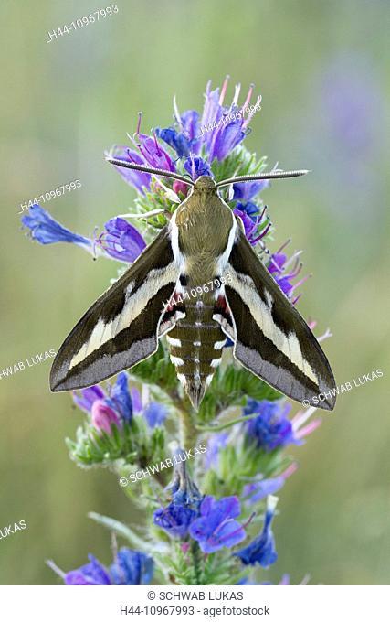 Animal, Insect, Moth, Hawk-Moth, Sphingidae, Hyles euphorbiae, Spurge Hawk-moth, Switzerland