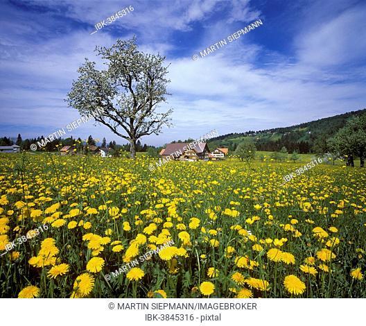 Meadow of Dandelions, Winsau near Dornbirn, Bregenz Forest, Vorarlberg, Austria