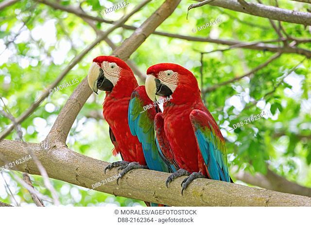 Asia,Malaysia,Borneo,Sabah,Sandakan,Sepilok Orang Utan Rehabilitation Center,Red-and-green Macaw or Green-winged Macaw (Ara chloropterus),captiv