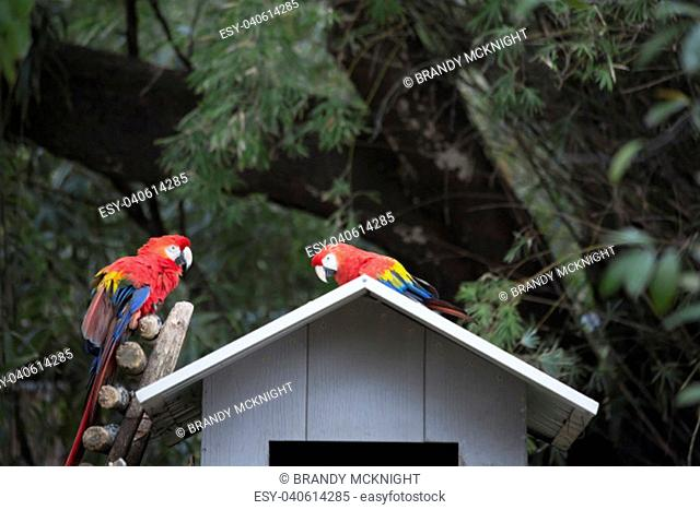 Pair of scarlet macaws perched on a birdhouse