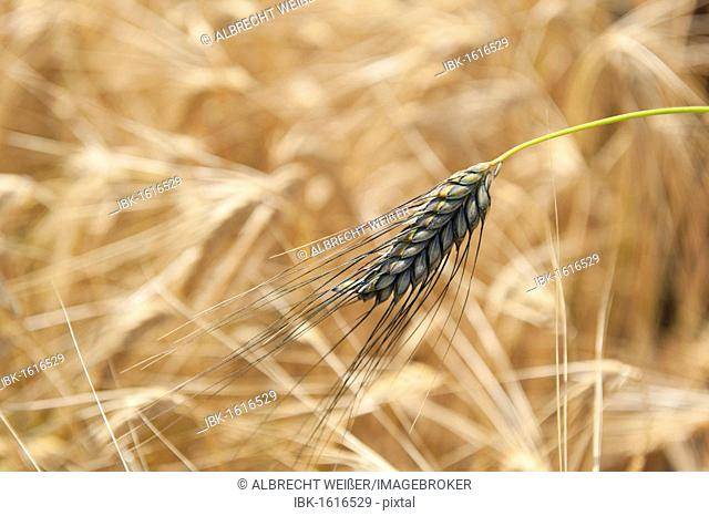 Emmer wheat, farro (Triticum dicoccum), the oldest cultivated cereal, suitable for beer production, southern Germany, Europe