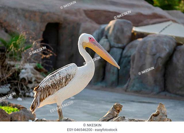 American White Pelican (Pelecanus erythrorhynchos) is standing on water shore