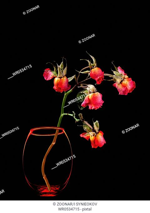 Dead roses in vase isolated on black