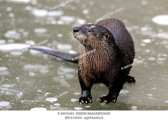European Otter (Lutra lutra)