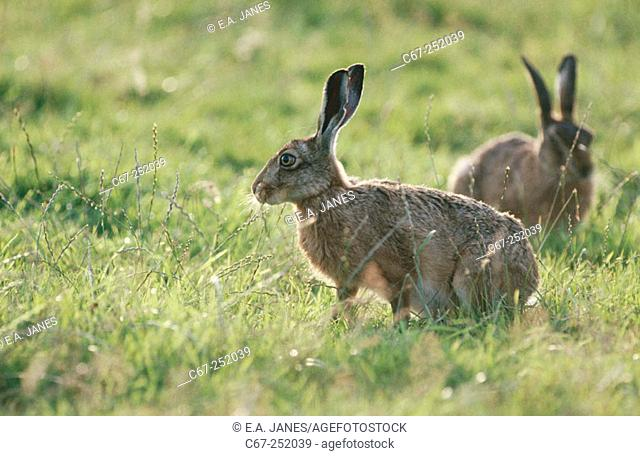 Brown hares grazing (Lepus capensis)