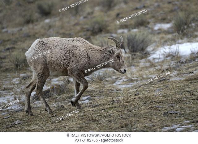 Rocky Mountain Bighorn Sheep ( Ovis canadensis ), female adult, end of winter, walking through grassland, Grand Teton National Park, WY, USA.